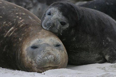 Elephant seal mother & pup on Sea Lion IslandPhoto Credit: Ryan Holliday
