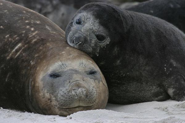 Elephant seal mother & pup on Sea Lion IslandPhoto Credit: Ryan Holliday