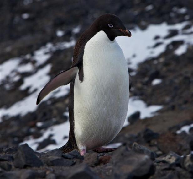Adelie Penguin (Pygoscelis adeliae)Photo Credit: Ken Klassy/National Science Foundation