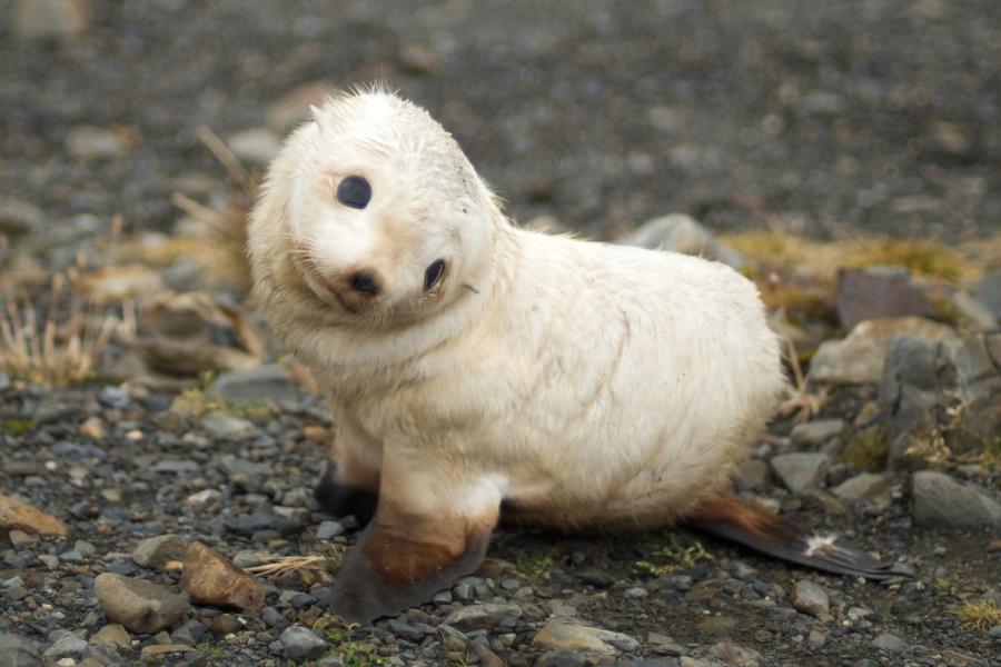 Baby Fur Seal, South Georgia Island