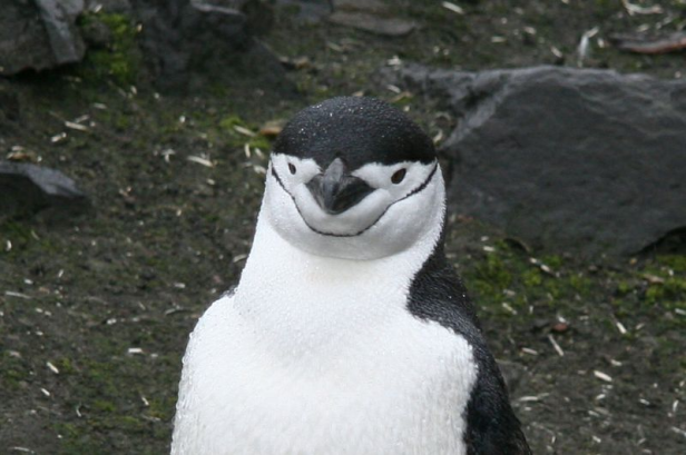 Chinstrap PenguinPhoto Credit: Tom Hudson