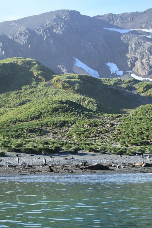 Cooper Bay, South GeorgiaThis diverse beach includes Northern Giant Petrels, King Penguins, Antarctic Fur Seals, Southern Elephant Seals, and Gentoo Penguins. Photo Credit: Liam Quinn