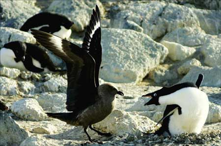 A skua tries to chase a penguin away from its nest.Photo Credit: Melanie Conner/National Science Foundation