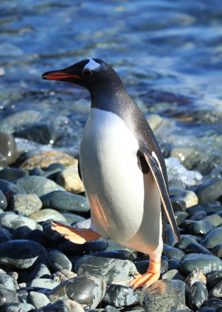 Gentoo Penguin, South Georgia