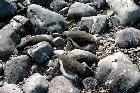 These gentoo penguin chicks are taking a nap after eating a big meal.Photo Credit: Zee Evans/National Science Foundation