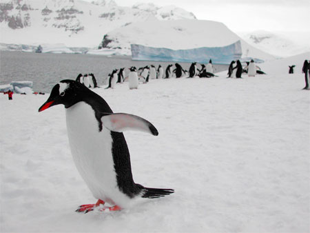 Gentoo PenguinsPhoto Credit: Melissa Rider/National Science Foundation