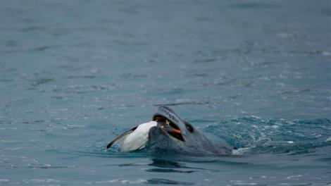A leopard seal captures a Gentoo penguinPhoto Credit: Sean Bonnette/National Science Foundation