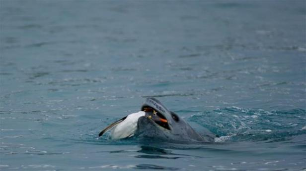 A leopard seal captures a Gentoo penguinPhoto Credit: Sean Bonnette/National Science Foundation