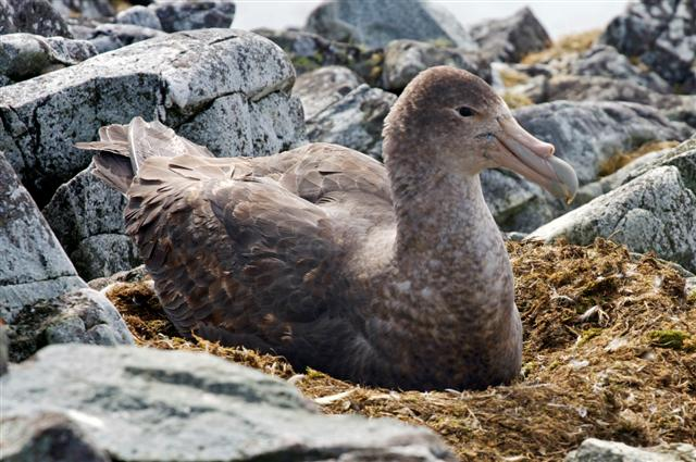 Giant PetrelPhoto Credit: Jon Brack/National Science Foundation