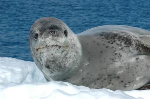 Leopard SealPhoto Credit: Peter Rejcek/National Science Foundation