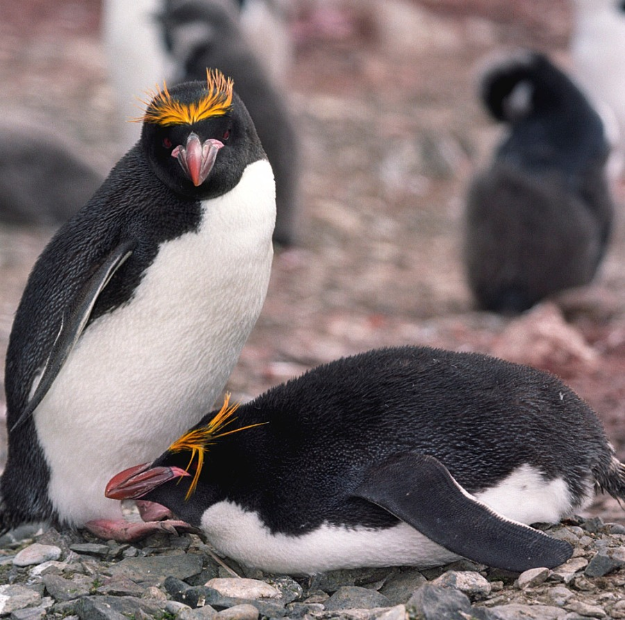 Macaroni Penguins Photo Credit: Jerzy Strzelecki