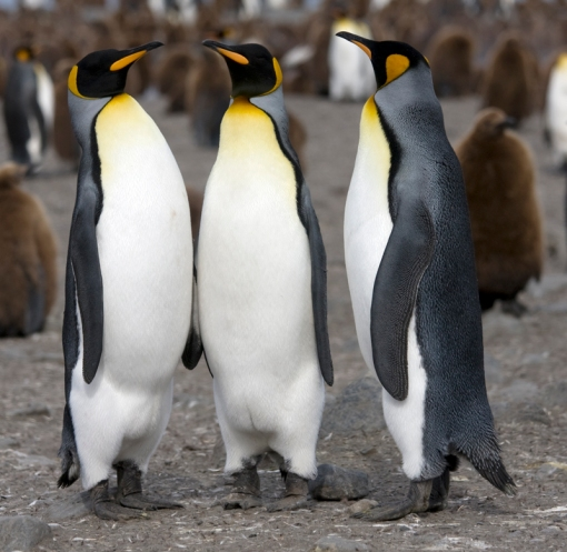 King Penguin (Aptenodytes patagonicus) in South Georgia