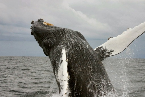 Humpback Whale (Megaptera novaeangliae)Photo Credit: Protected Resouces Division, Southwest Fisheries Science Center, La Jolla, California. swfsc.nmfs.noaa.gov/PRD/