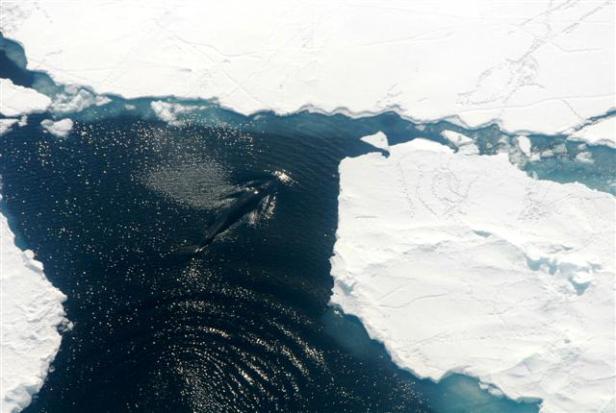 Minke WhalePhoto Credit: Robyn Waserman/National Science Foundation