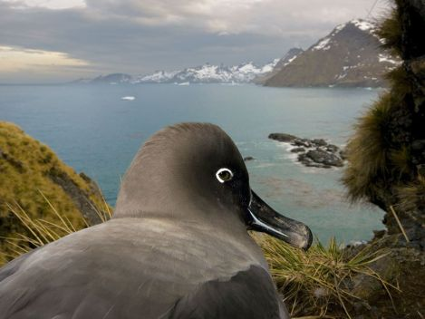 A light-mantled sooty albatross looks down on Gold Harbour in South GeorgiaPhoto Credit: Paul Nicklen/National Geographic