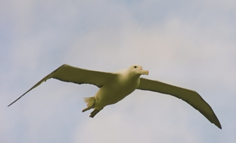 Southern Royal Albatross in flightImage Credit: Brocken Inaglory