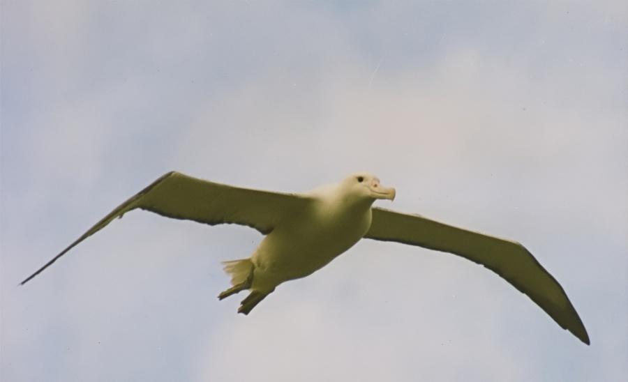 Southern Royal Albatross in flightImage Credit: Brocken Inaglory