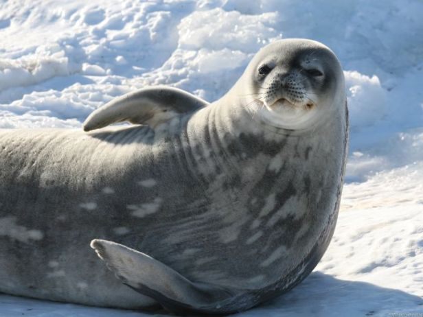 Weddell Seal Photo Credit: Glenn Browning/Australian Department of Sustainability, Environment, Water, Population & Communities - Antarctic Division