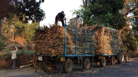 Workers stack huge piles of cut sugar cane in trucks.