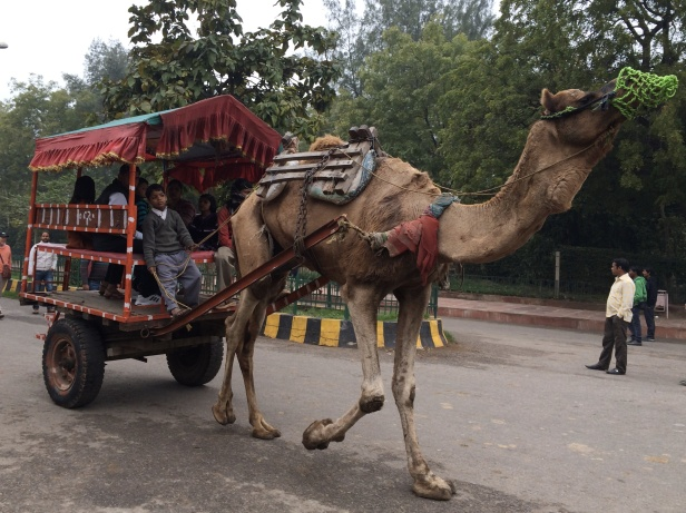 Camels transport visitors to the Taj Mahal.