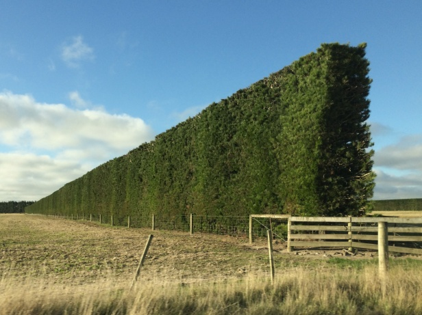 Tall trimmed hedges for wind breaks.