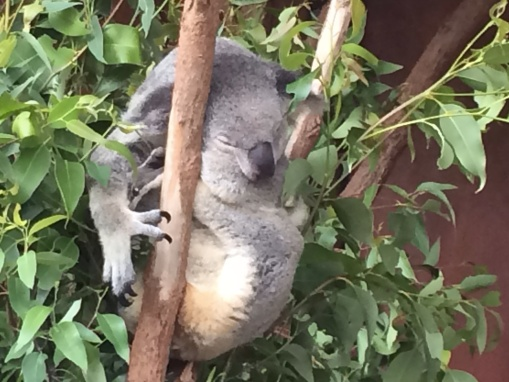 Koalas sleep about 19 hrs/day!