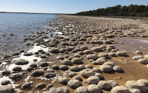 No, I didn't get to the famed stromatolites of Shark's Bay, but I did see these cool microbial thrombolites at Lake Clifton (S of Perth), estimated at ~ 2000 years old.