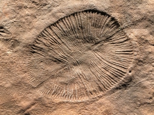 Many samples of Dickinsonia, the iconic fossil of the Ediacaran Period, are on display at the South Australia museum.