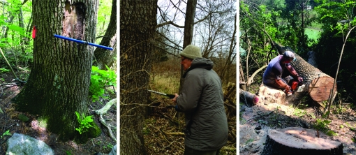 An ash tree is cored with an increment borer to see how old it is (left) before collaborator Henry Spitz (University of Cincinnati) takes a sample for chemistry (center). Another tree is cut down by Miami University staff member Kendall Hauer to collect a cross section (right).