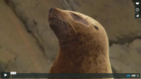 "VIDEO: ""Entanglement of Steller Sea Lions in Marine Debris: Identifying Causes and Finding Solutions"" (https://vimeo.com/29863322), credit: Alaska Department of Fish and Game"